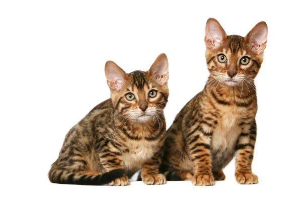 Тигровые табби