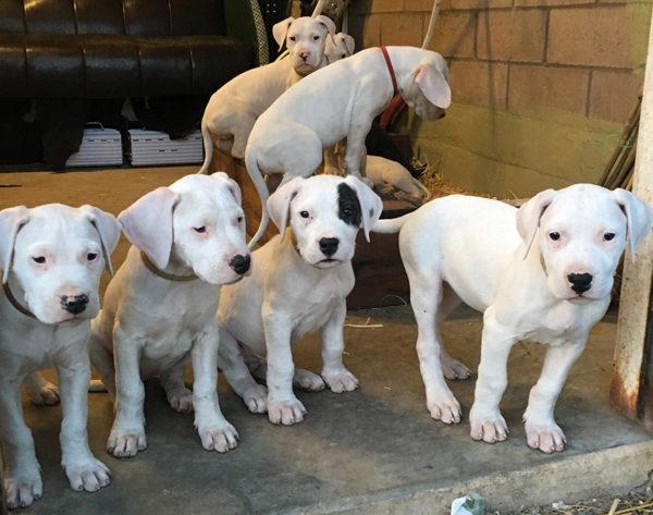 Самые дорогие щенки продаются в Аргентине