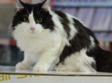 Кот с окрасом «чёрный биколор»