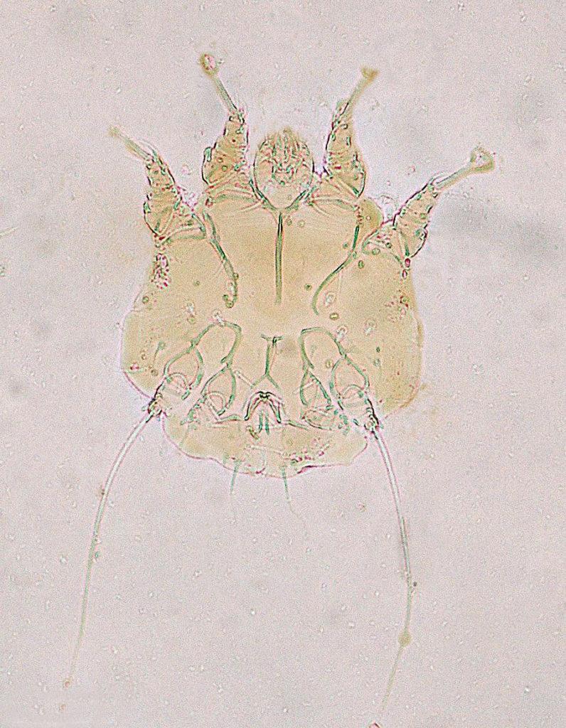 Notoedres cati под микроскопом