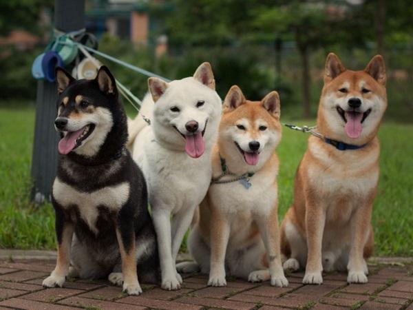 Важный элемент в содержании такой собаки – ее общение с себе подобными