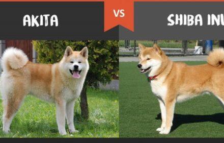 akita-vs-shiba-inu