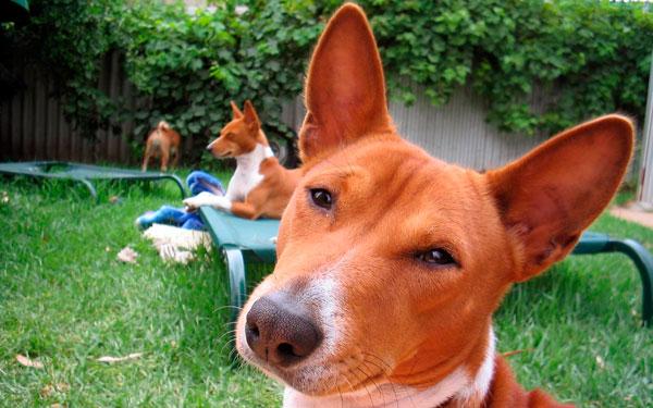 Человек, считающий, что он заведёт басенджи и избежит проблем с соседями из-за шумной собаки, глубоко заблуждается