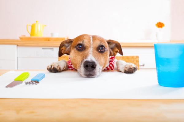 Владельцы с первых дней, когда щенок появился в доме, строго-настрого должны запретить ему воровать со стола