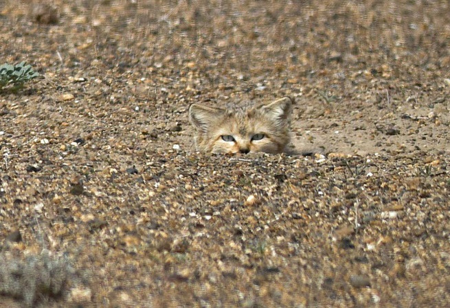 Искать легкие пути барханным котам не по нраву