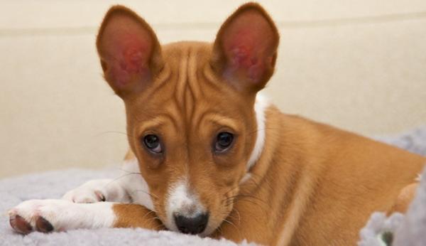Собаки имеют красивые глаза миндалевидно формы, с выражением, описанным в стандарте как «таинственное, выразительное»
