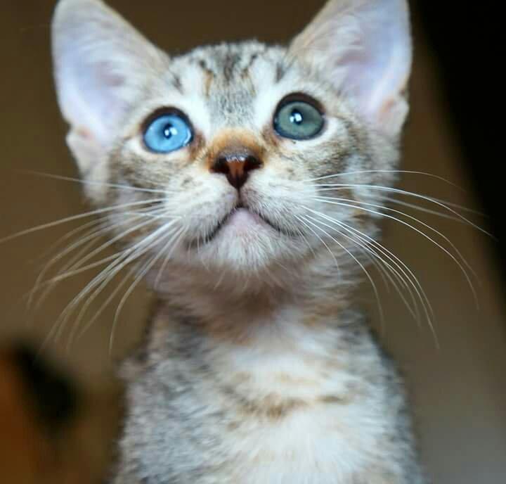 «Разноглазость» кошки допускается стандартами породы