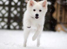 Американский шпиц - собака храбрая и независимая, а также весьма активная