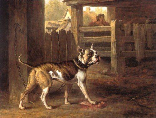 Английский бульдог перед боем с быком