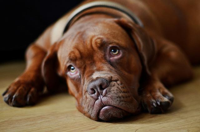 Апатия и вялость - один из признаков недомогания у собаки
