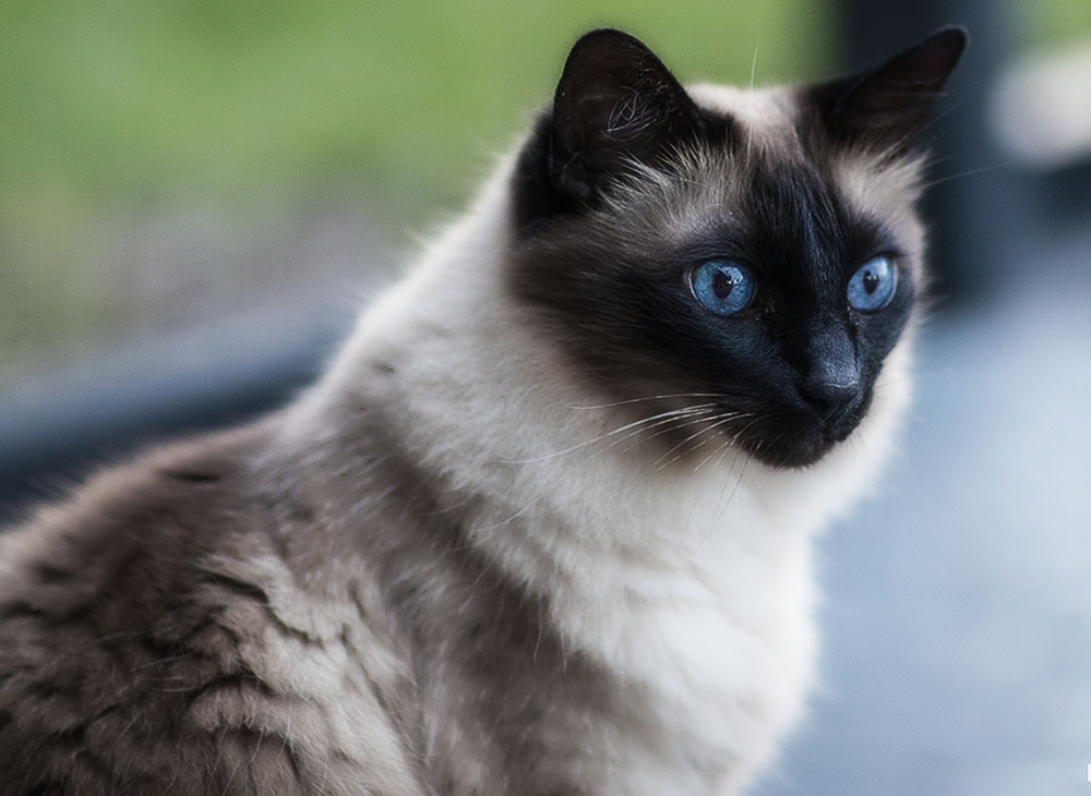 Балинезийская кошка была выведена благодаря скрещиванию сиамских, отличавшихся длинной шерстью