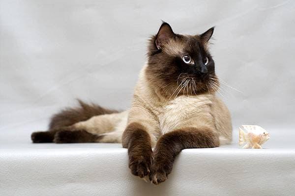 Балинезийские кошки зачахнут без внимания хозяина