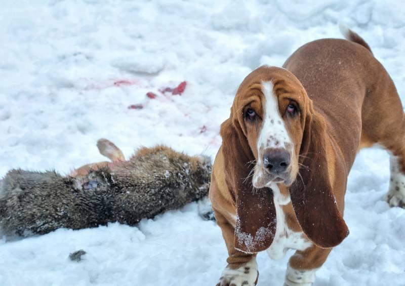 Бассет-хаундов используют в охоте на небольшую дичь