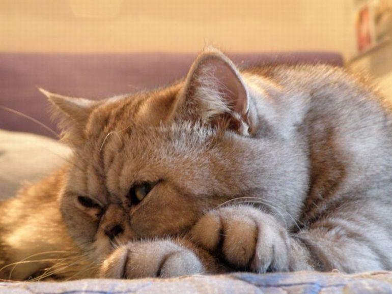 Беспокойство кота по окончанию терапии может быть свидетельством возникших осложнений