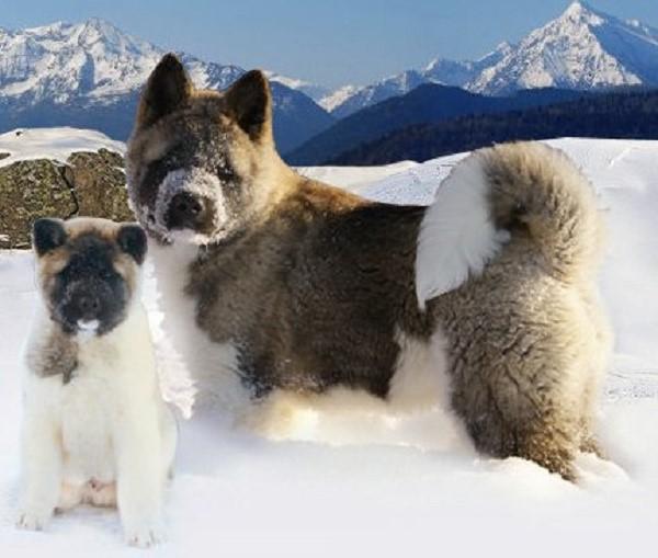 Благодаря шерсти акиты могут жить и на снегу