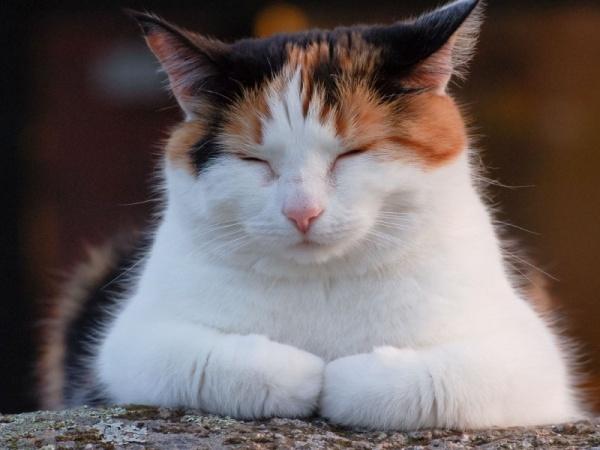 Большая часть тела трехцветных кошек покрыта белой шерстью