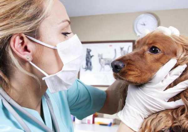 При первых симптомах энтерита нужно показать собаку врачу