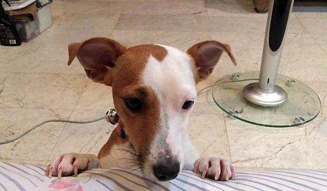 Взрослый пес с обвисшими кончиками ушей