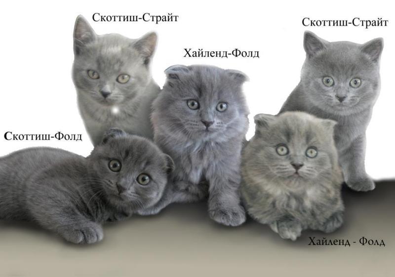 Виды британских и шотландских кошек