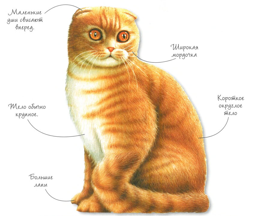 Внешние признаки вислоухих котов