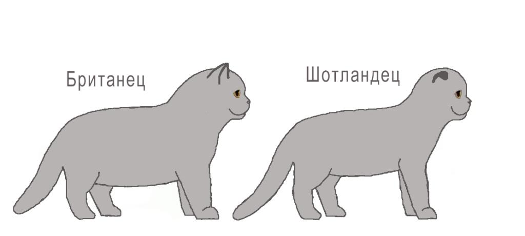 Внешние различия британской и шотландской кошки