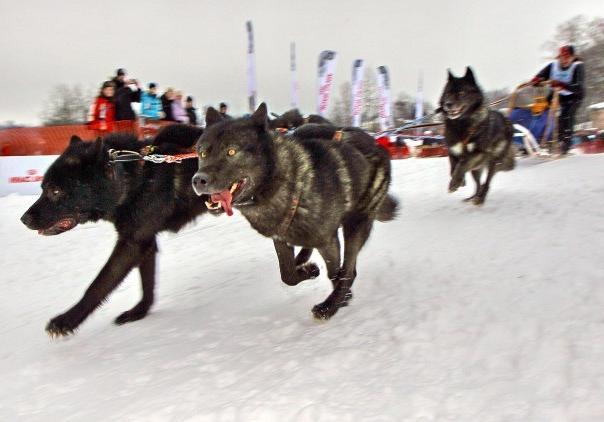 Волкособы во время гонки
