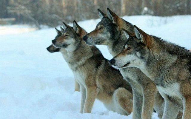 Волкособы - собаки, рожденные от спаривания дворняги с волком