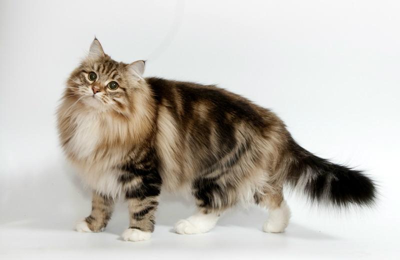 Вопреки наличию густой бархатистой шерсти, сибирские кошки хорошо уживаются с аллергиками