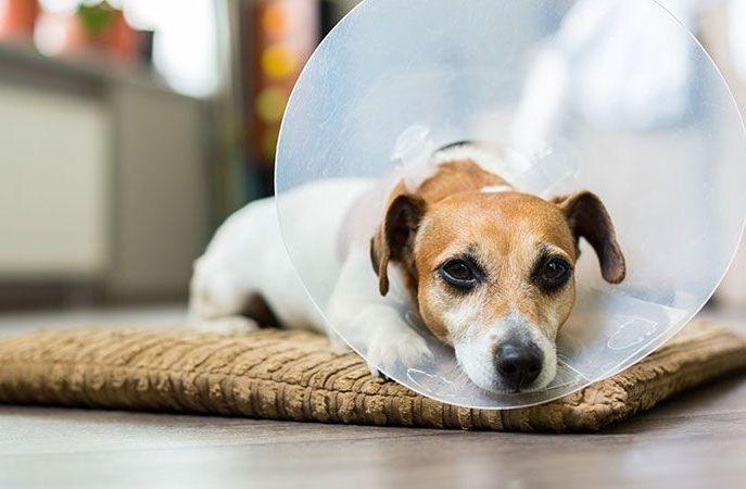 Воротник предотвратит расчесывание или зализывание собакой травмированного участка кожи
