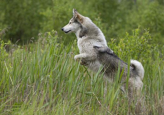 Восточно-сибирская лайка способна работать в любых условиях, выходить на след и преследовать самую разную дичь