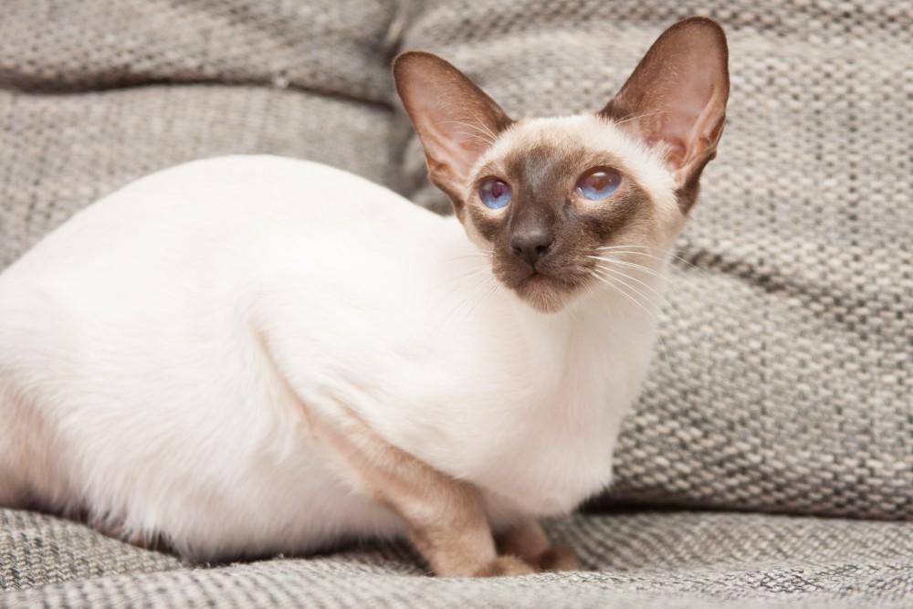 Во время беременности сиамской кошки воздержитесь от активных игр с питомицей
