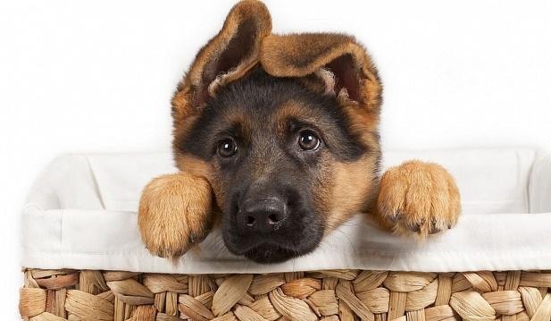 Во время поглаживания головы щенка вы можете повредить еще неокрепший ушной хрящ
