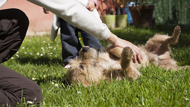 Во время поглаживания живота вы можете случайно задеть гениталии собаки, что негативно скажется на состоянии собаки