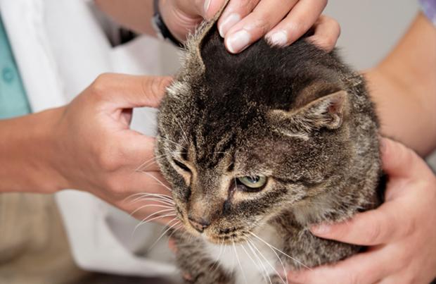 Все манипуляции, осуществляемые с котом, должны совершаться чистыми руками