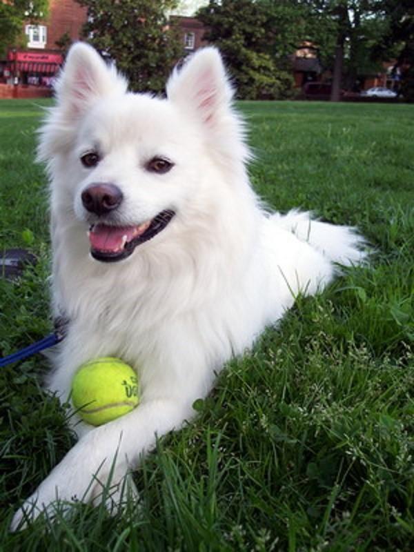 Выгул собак этой породы должен быть частым и активным