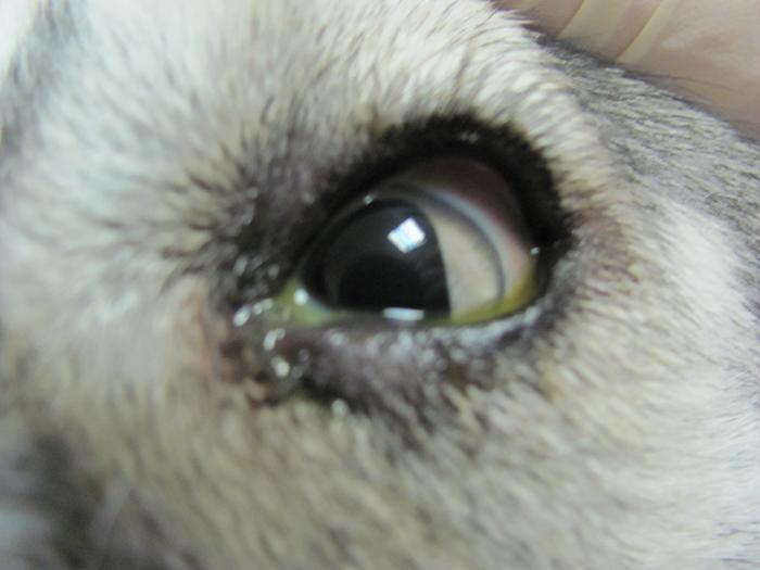 Выделение гноя из глаза у собаки сигнализирует о заболевании