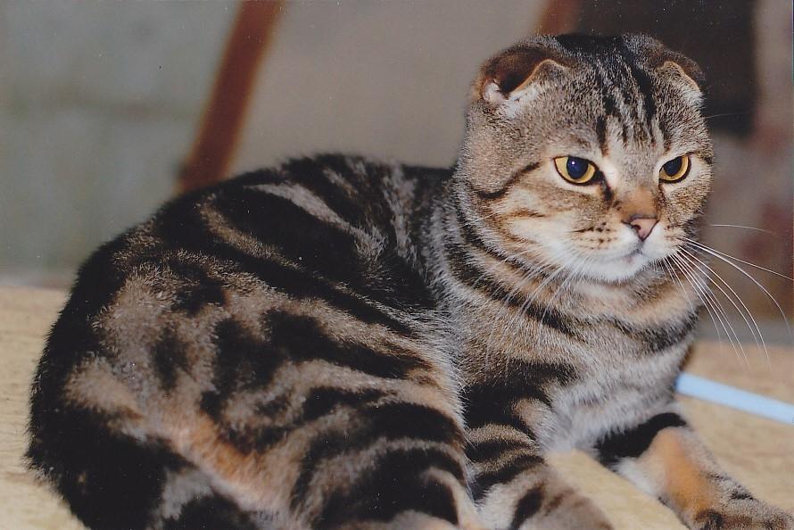Выставочная кошка