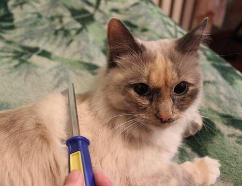 Вычёсывание длинношёрстной кошечки гребнем с металлическими зубьями различной длины