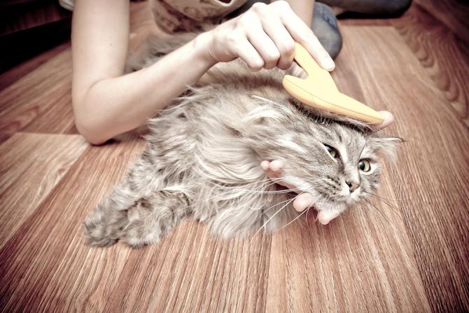 Вычёсывание для этого сибирского кота - настоящее испытание