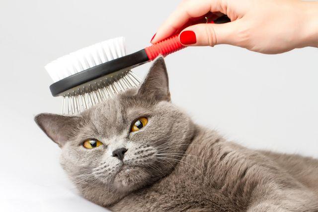 Вычёсывание кота-британца