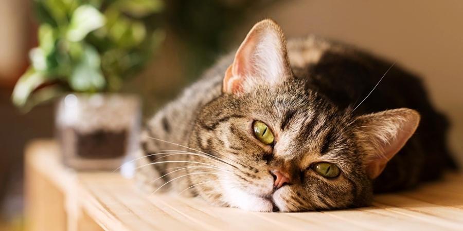 Вялое состояние кота сигнализирует о неполадках со здоровьем кота
