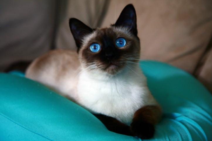 В королевстве Сиам сиамские кошки были в большом почете