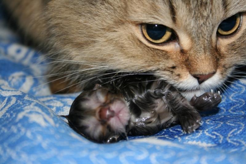 В норме кошка сама перегрызает пуповину и ухаживает за новорожденными
