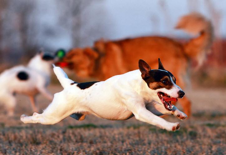 В основе дрессировки собаки лежит формирование адекватного собачьего характера