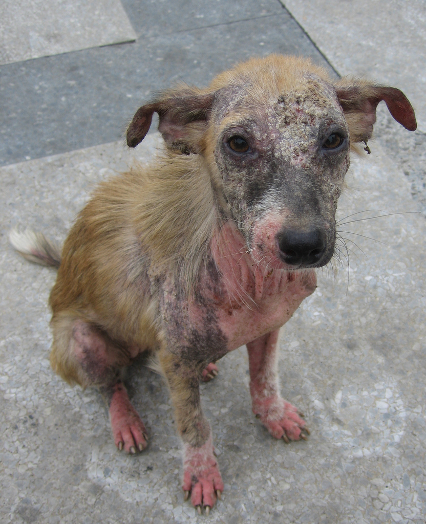 В отсутствии лечения экзема затрагивает все большие участки тела собаки