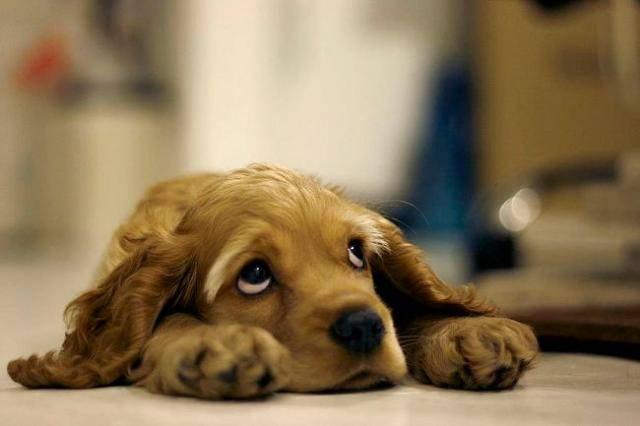 В первые дни знакомства с хозяином и с его питомцем щенки испытывают интенсивные переживания