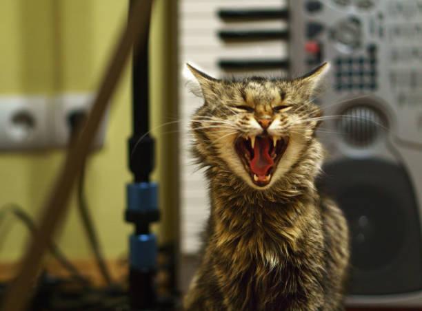 В периоды вязки попытки ограничить половую активность нестерилизованного кота часто заканчиваются ничем