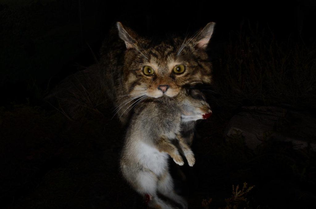 В природный условиях острых нюх позволял котам выживать в условиях дефицита пищи