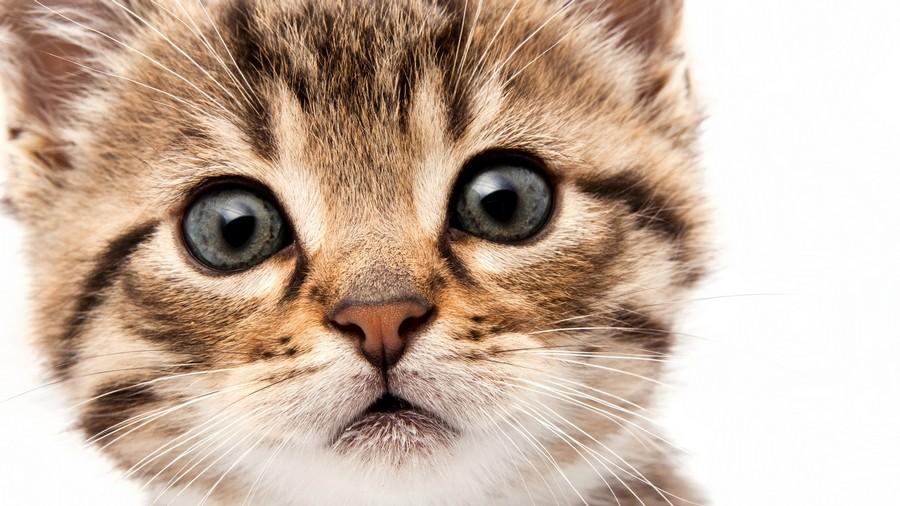 В связи с тем, что организм котенка еще развивается, состояние его носа может меняться