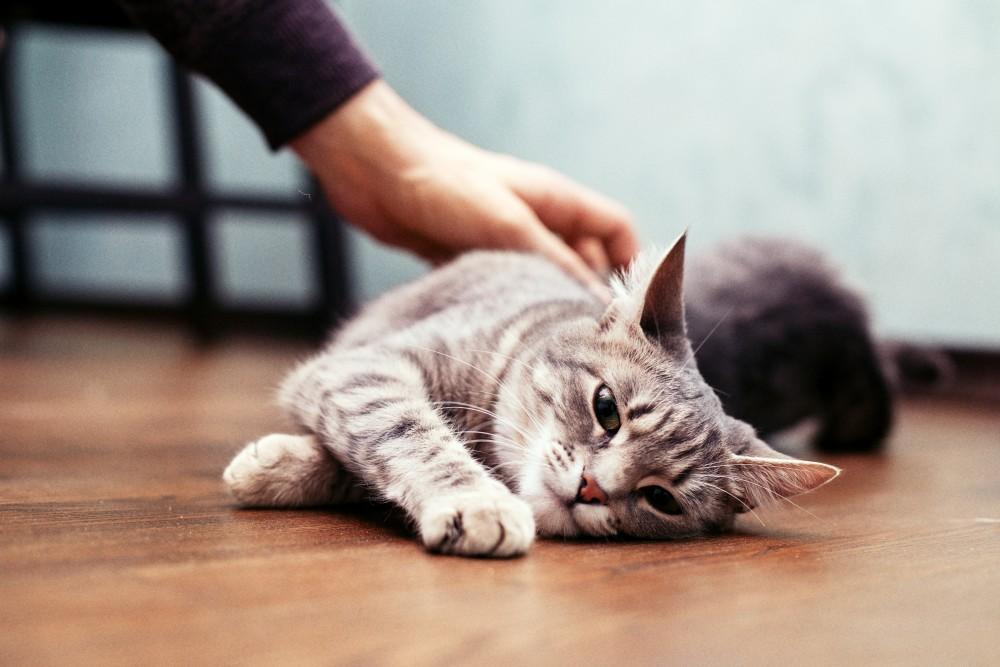 В стрессовых ситуациях некоторые коты склонны к стереотипии, выражающейся и в кусании когтей